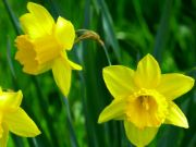 Daffodil | flower name in english and hindi