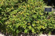 Natal plum | Vegetable name in English-Hindi