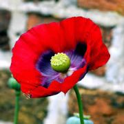 Poppy | flowers name