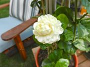 Arabian jasmine, Jasminum Sambac