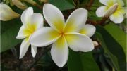 frangipani | flowers name