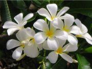 jasmine | flower name