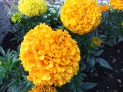 marigold | flower name in english hindi