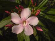 oleander | flower name
