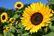 sunflower | all flower name