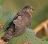 Hawk Cuckoo bird