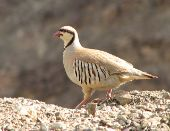 Partridge bird name