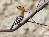 Hoopoe | bird name
