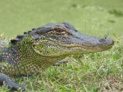 Alligator a wild animal