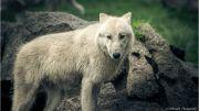 Arctic wolf a wild animal
