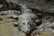 Crocodile wild animal