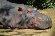 Hippopotamus a wild animal