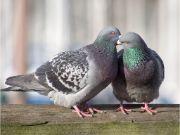 Pigeon animal name