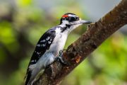 Woodpecker bird animal