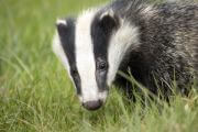 badger a wild animal