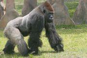 gorilla a wild animal