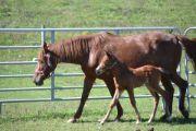 mare a domestic animal