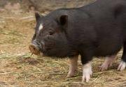 pig animal