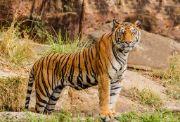 tiger | wild animals name in english hindi