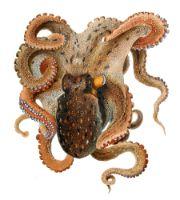 Octopus animal