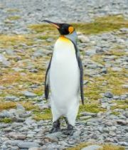 Penguin a sea animal