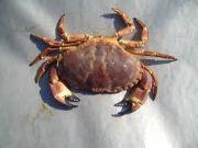 crab a sea animal