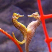 seahorse a animal