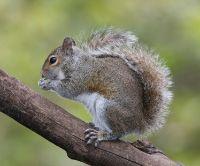 Squirrel wild animal