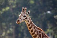 giraffe jangli janwar