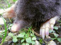 mole wild animal