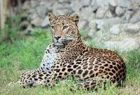 Leopard jangli janwar