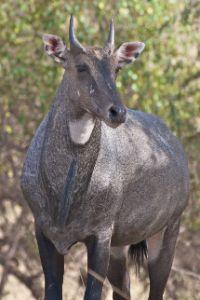 Nilgai wild animal