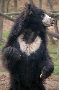 Sloth Bear jangli janwar