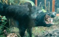 Wild Boar animal