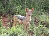 jackal wild animal
