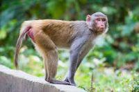monkey jangli janwar