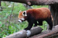 red panda wild animal