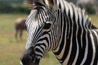 zebra jangli janwar