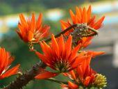 Erythrina flower