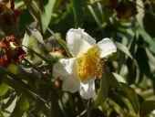 Mesua Ferrea flower