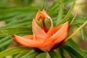 Pandanus flower