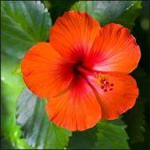 Rosemallows flower