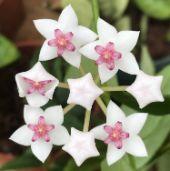 bela flower